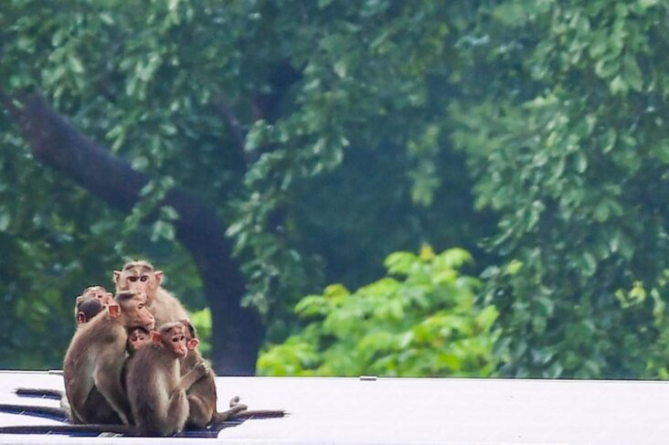 Macaques Here A Family In India Are Missing The Tourists In Bali. Symbol Image