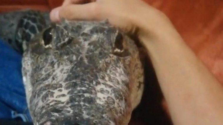Man Has A Pet Crocodile And Treats It Like A Puppy