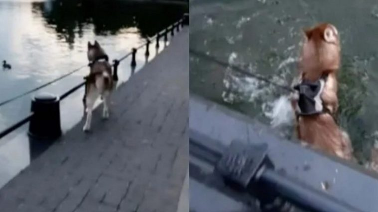 Puppy Falls Into A Pond When Distracted By The Ducks In It