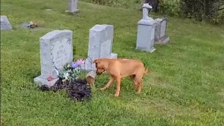 Dog Is Moved After Knowing How To Reach The Grave Of Her Deceased Owner